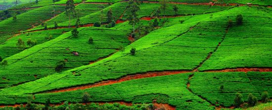 Fields of tea.