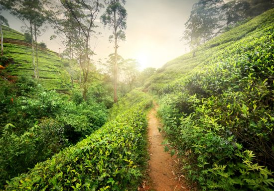 Walk through the lush green tea plantations of High Country.