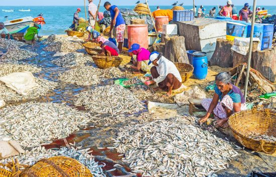 NEGOMBO, SRI LANKA - NOVEMBER 25, 2016: Workers clean the heaps of anchovies and fold it to baskets, preparing for sale at the Main Fish Market, located next to the port