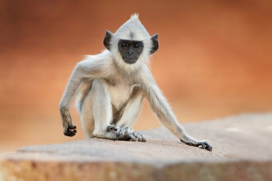 Close up young Gray langur, these monkeys are common throughout Sri Lanka.