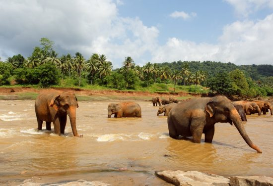 Wild Elephants Sri Lanka